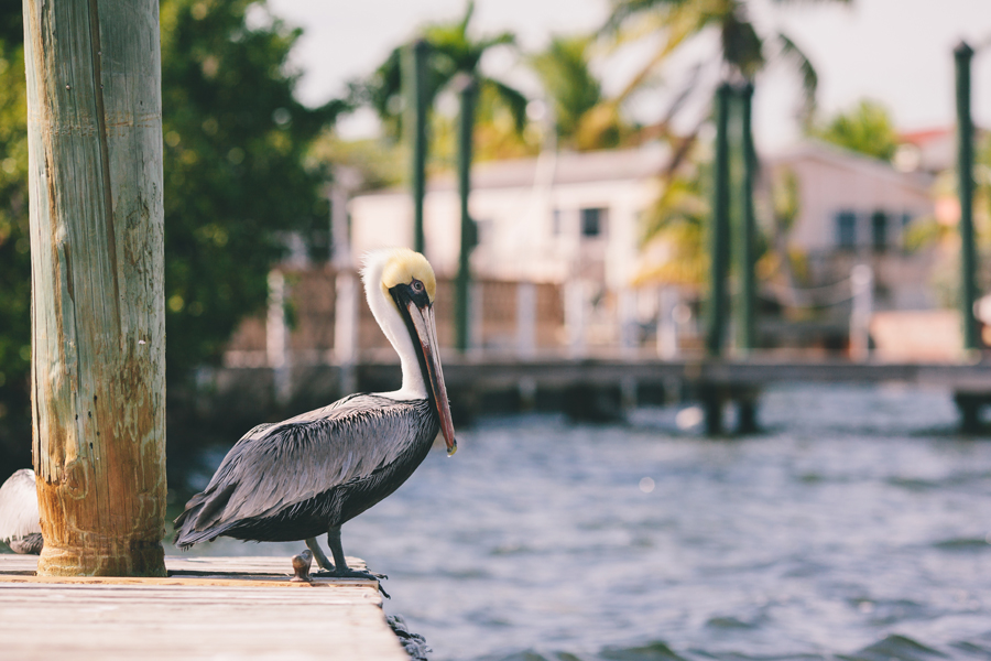 pelican in key largo