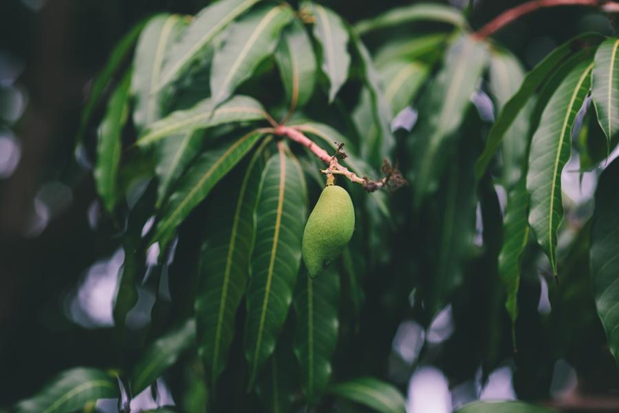 mango in pennekamp state park key largo fl