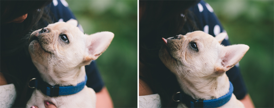 French Bulldog at engagement session